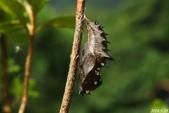 黑端豹斑蝶:黑端豹斑蝶,蛹