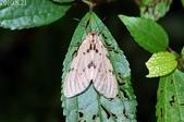 2010陽明山的蛾類:陽污燈蛾-雌