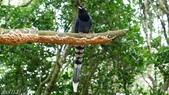 藍腹鷴在陽明山?:台灣藍鵲