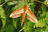 2014陽明山的蛾類:綠背斜紋天蛾