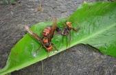 虎頭蜂:虎頭蜂交尾