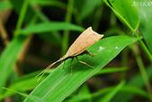 2013陽明山的蛾類:折角蛾