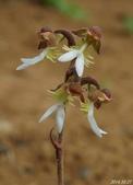 陽明山的野生蘭:金線蓮(蘭科植物)