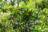 藍腹鷴在陽明山?:五色鳥吃楊梅
