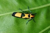 2013陽明山的蛾類:閃光苔蛾