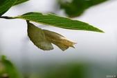 蛺蝶蛹(二):紅星斑蛺蝶-蛹殼