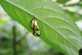 蛺蝶蛹(二):圓翅紫斑蝶蛹