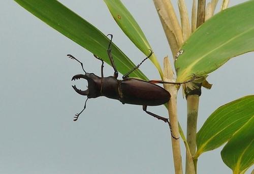 大屯姬深山鍬形蟲 (雄) - 大屯姬深山鍬形蟲,雌蟲