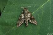 2014陽明山的蛾類:白星天蛾