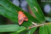 2009陽明山的蛾類:三色艷苔蛾