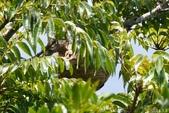 虎頭蜂:黑尾虎頭蜂窩