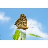 黑端豹斑蝶:相簿封面