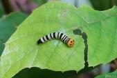 大綠弄蝶:大綠弄蝶三齡幼蟲