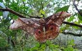 2014陽明山的蛾類:大綠目天蠶蛾