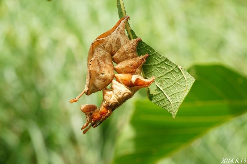 蟻舟蛾幼蟲在陽明山:弓紋蟻舟蛾 幼蟲