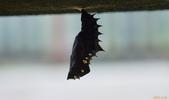 黑端豹斑蝶:黑端豹斑蝶蛹