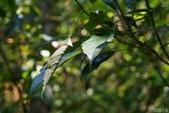 大綠弄蝶:大綠弄蝶蟲巢