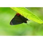 大綠弄蝶:相簿封面