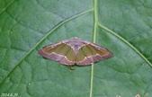 2014陽明山的蛾類:綠紋尺蛾