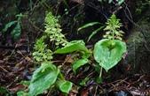 陽明山的野生蘭:心葉羊耳蒜