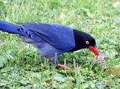藍腹鷴在陽明山?:台灣藍鵲叼蟾蜍