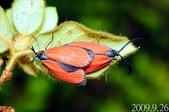 2009陽明山的蛾類:寬緣杜鵑斑蛾交尾