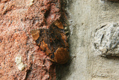 2010陽明山的蛾類:苧麻夜蛾