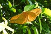 2014陽明山的蛾類:紅目天蠶蛾♀