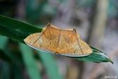 2014陽明山的蛾類:黃蝶尺蛾