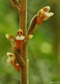 陽明山的野生蘭:小唇蘭