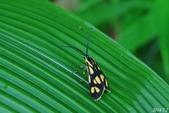 2014陽明山的蛾類:海南禾斑蛾