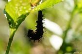 蛺蝶蛹(二):黃三線蝶-前蛹