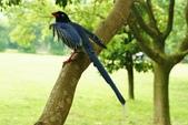 藍腹鷴在陽明山?:藍鵲