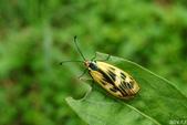 2014陽明山的蛾類:史氏狹翅螢斑蛾,雌