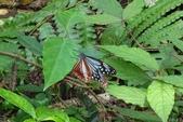 青斑蝶(大絹斑蝶):青斑蝶產卵