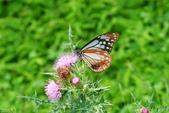 青斑蝶(大絹斑蝶):青斑蝶