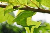 烏鴉鳳蝶:烏鴉鳳蝶-帶蛹