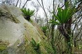 陽明山的蕨類(ㄧ):臺灣山蘇花.鳥巢蕨