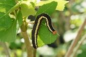 蛾類幼蟲:超橋夜蛾幼蟲