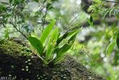 陽明山的野生蘭2015:ㄧ葉羊耳蒜