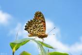 黑端豹斑蝶:黑端豹斑蝶-雄