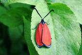 2010陽明山的蛾類:寬緣杜鵑斑蛾(雌)