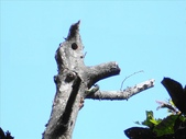 藍腹鷴在陽明山?:五色鳥