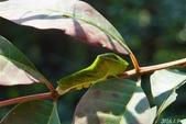 烏鴉鳳蝶:烏鴉鳳蝶幼蟲