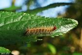 蛾類幼蟲:暗點燈蛾幼蟲