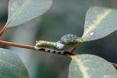 烏鴉鳳蝶:烏鴉鳳蝶幼蟲 (三齡)