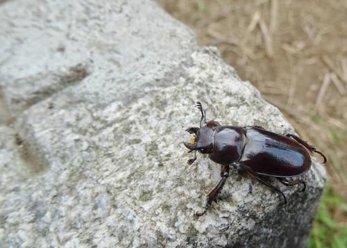 大屯姬深山鍬形蟲 (雌) - 大屯姬深山鍬形蟲,雌蟲
