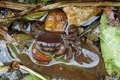 淡水澤蟹:陽明公園的澤蟹