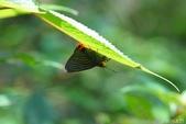 大綠弄蝶:大綠弄蝶