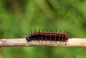黑端豹斑蝶:黑端豹斑蝶幼蟲